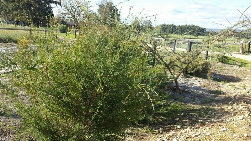 Local native plants on a verge in Serpentine Western Australia