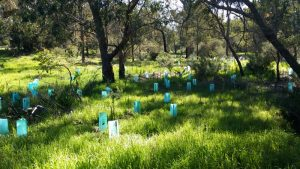 Seedlings at Myara Brook, Keysbrook, Western Australia