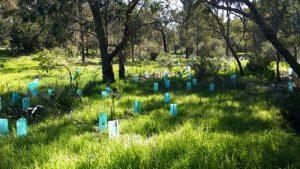 Seedlings at Myara Brook, Keysbrook, Western Australia