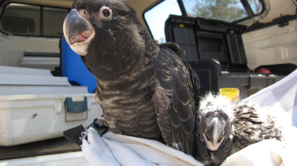 Carnaby's Black Cockatoo chick