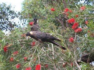 Baudins black cockatoo in red bottle brush tree