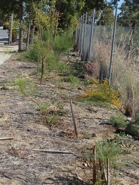 Second year seedlings along Alexander Road, Byford in 2016