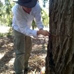 man measuring a tree, SJ part of an international drought research project