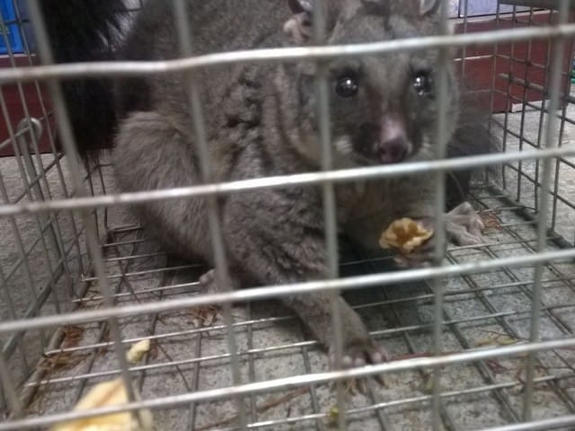 possum in trap