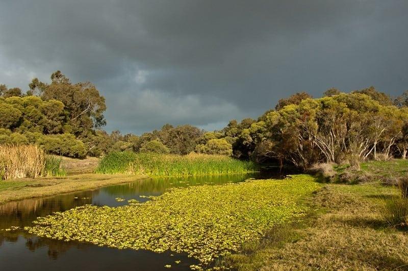 water hyacinth infesting Serpentine river
