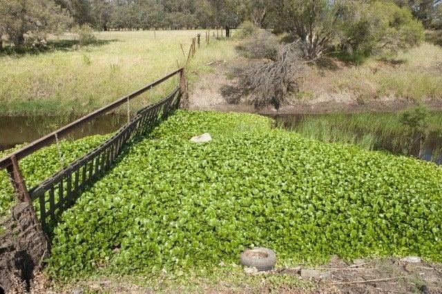 Water Hyacinth in river in Oldbury