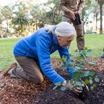 Jane Goodall planting extremely rare hybrid Eucalyptus x mundijongensis at Saw Avenue Picnic Area, Kings Park, Perth
