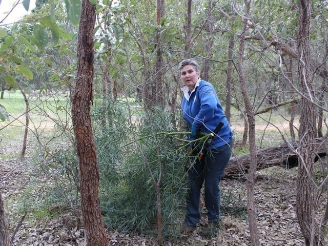 woman removing weedy wattle species