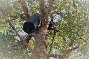 Red Tailed Black Cockatoo inspecting an artificial nesting box outside the Landcare SJ office in Mundijong.