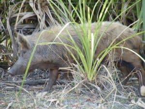 A feral pig