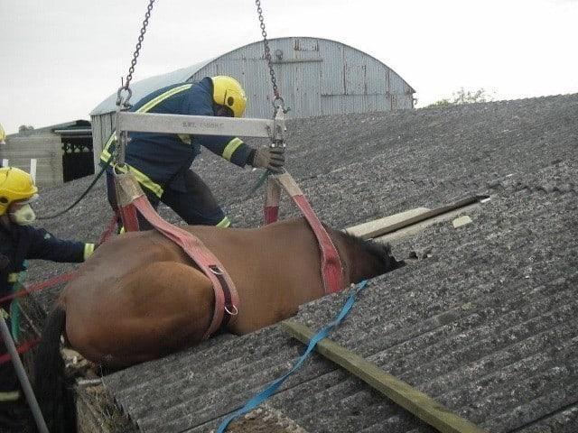 horse stuck in piggery roof