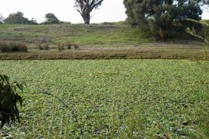 Water Hyacinth in Keralup