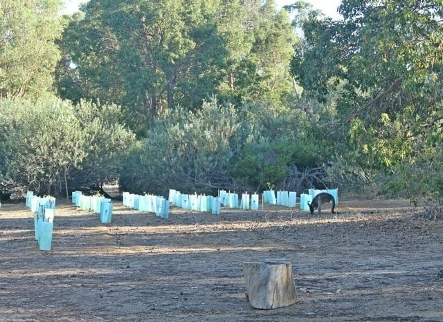 Kangaroo in front of seedlings planted at Byford Scout Reserve on National Tree Day 2017