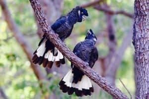 Baudins Black Cockatoos, photo by Darren Hamley