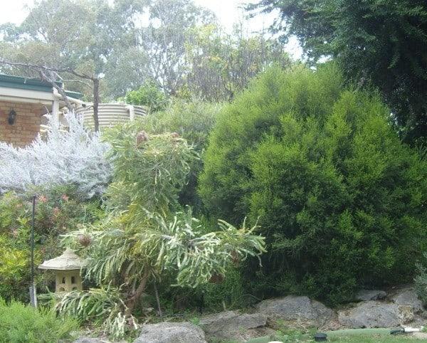 Western Australian plants growing in agarden