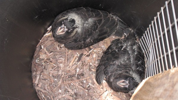 Carnaby's Black Cockatoo chicks in Cockatube artificial hollow