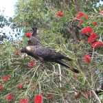 Baudins black cockatoo in red bottle brush tree