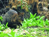 Mainland Quokkas Found in Jarrahdale