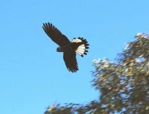 Carnabys cockatoo flying