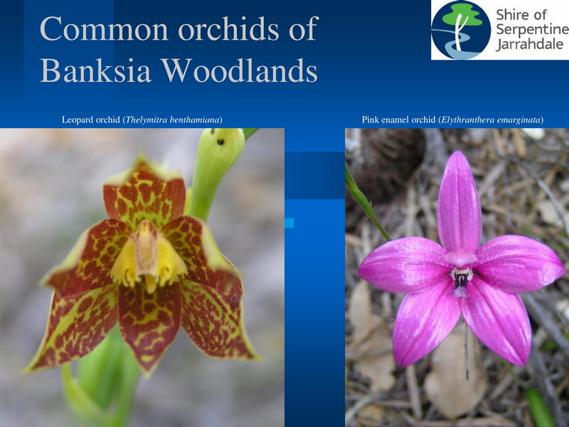 images of two orchids of banksia woodlands with title