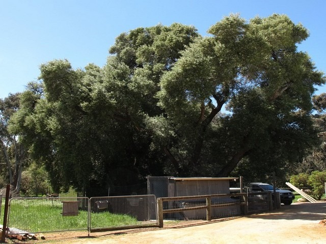 old olive trees at afarm in Serpentine Jarrahdale