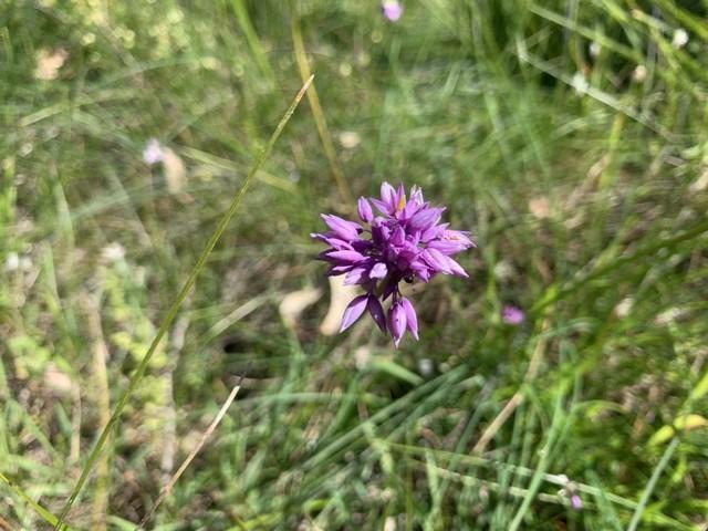 purple tassel flowering