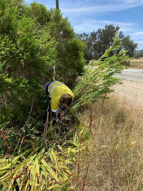 man pulling out cotton bush on verge side