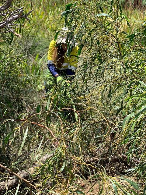 woman removing cotton bush on road verge