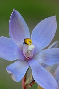 Thelymitra-macrophylla