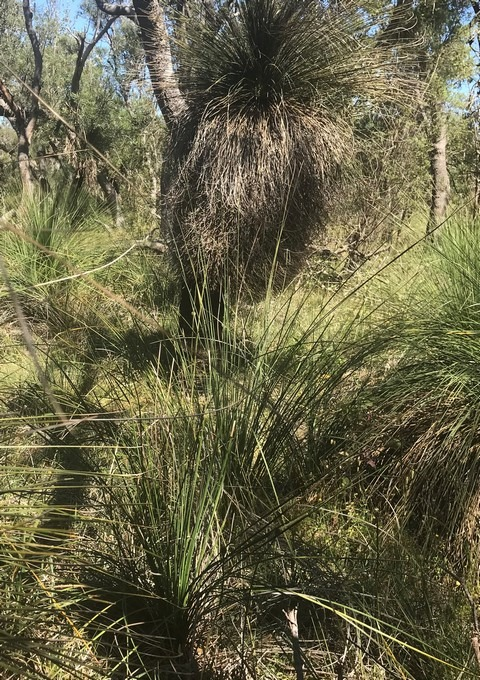 grass tree in bush setting