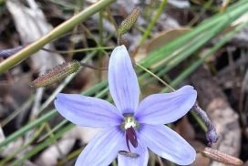 thelymitra macrophylla sun orchid flower