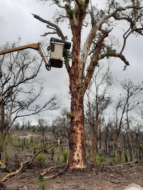 artificial nest box for black cockatoos being lifted into tree by a cherry picker crane