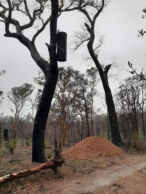 artificial nest box for black cockatoo in fire blackened tree