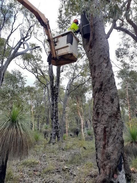 man installing atificial nest box in fire blackened tree