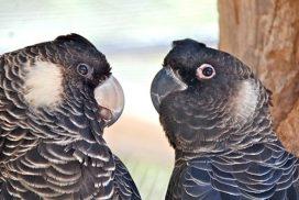 two black cockatoo heads